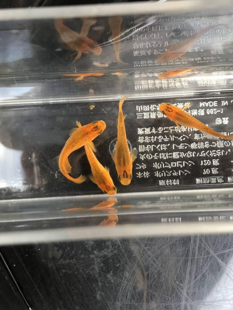 紅薊メダカ(2018年産)