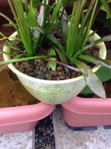 グリーンウォーター対策、赤玉土を使って飼育水を透明にする方法。