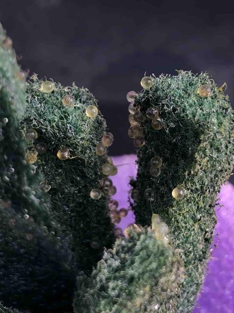 産卵床に産んだメダカの卵
