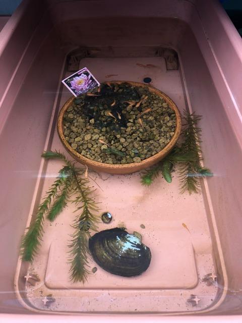 メダカの飼育容器(赤玉土とドブ貝)