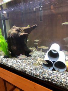 ガサガサで捕まえた魚は、室内の120cmの巨大水槽で泳がせよう