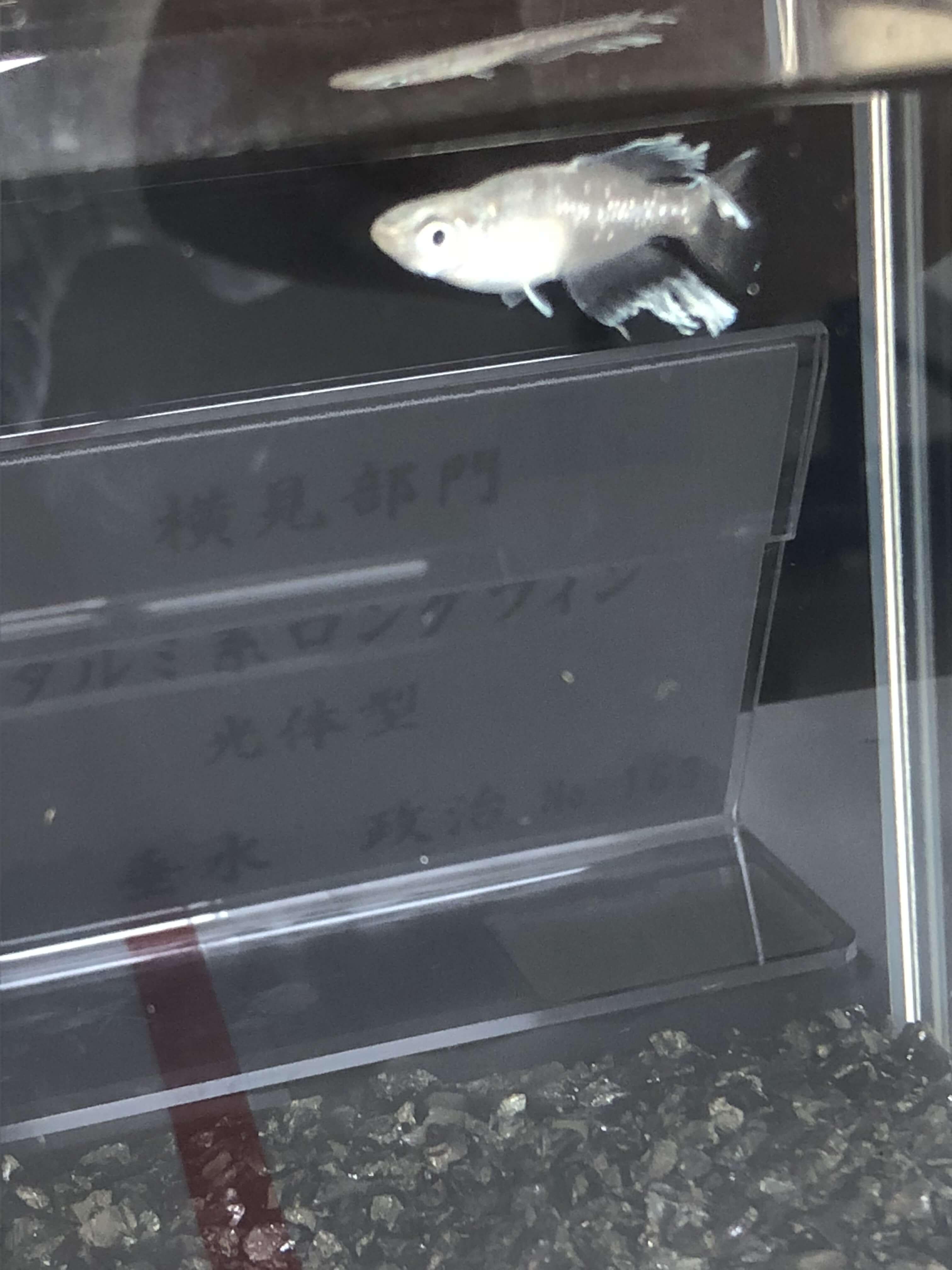 メダカの品評会(2018年秋)タルミ系ロングフィン光体型