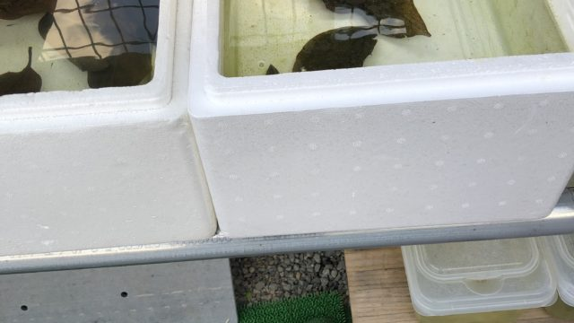 冬越し中のメダカ容器