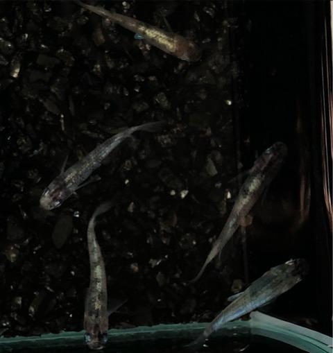 黒錦カブキ(2017秋の品評会)