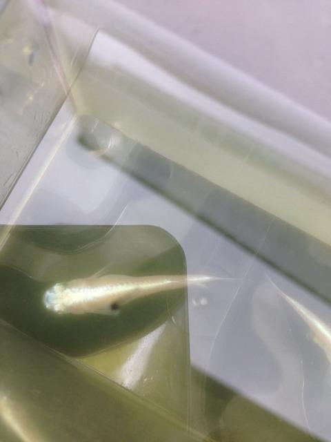 白幹之メダカフルボディ光の特徴