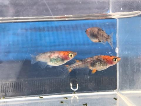 綺麗な模様の朱赤三色透明鱗メダカ