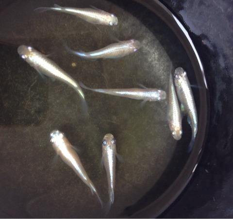 白幹之メダカフルボディ光の稚魚
