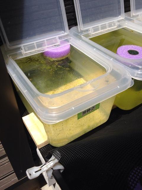 稚魚が泳ぐメダカ容器