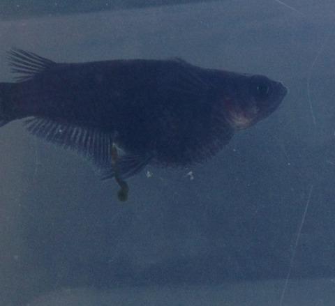 黒色(ブラック)透明鱗メダカ