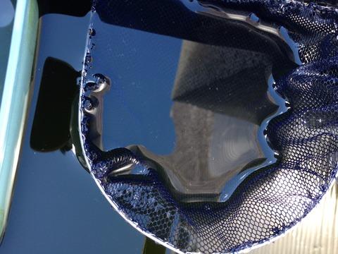 黒龍(黒色透明鱗メダカ)の特徴