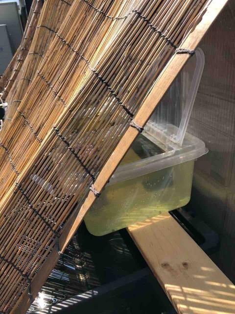 メダカラック(棚)とメダカ容器の暑さ対策