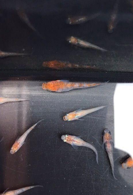 種親候補の朱赤三色透明鱗メダカ