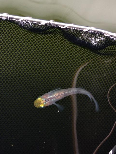 灯メダカの稚魚の特徴