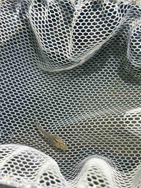 紅薊メダカの稚魚