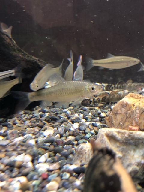 120cm水槽で泳ぐガサガサで捕まえた魚