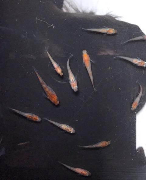 種親の朱赤三色透明鱗メダカ