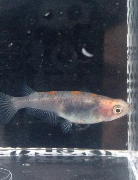 飼育し始めの朱赤三色透明鱗メダカ