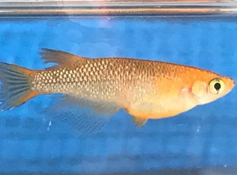 クリアブラウンラメ幹之メダカのラメの特徴