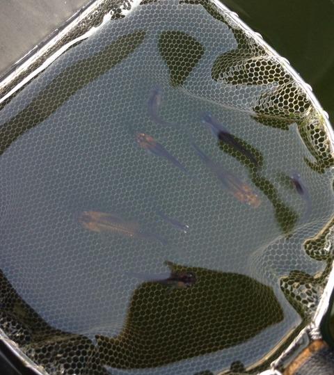 オーロラ系灯メダカの稚魚の特徴