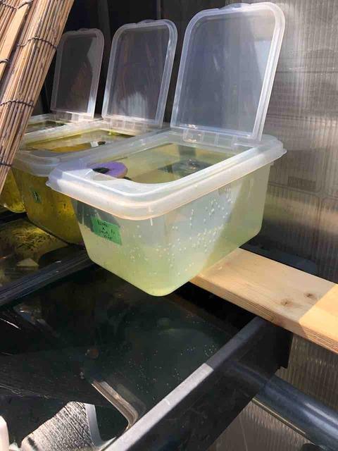 針子が泳ぐメダカ容器