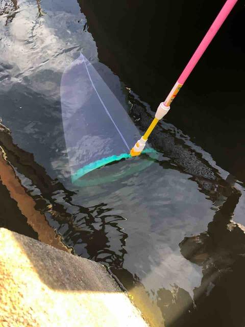 ミジンコを捕獲する用の網でミジンコの捕獲中