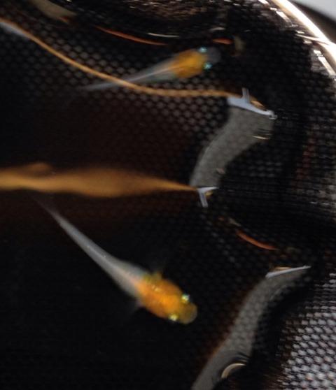 非透明鱗紅白メダカの特徴