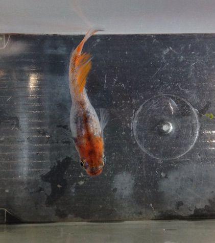 ヒレが長い朱赤三色透明鱗メダカ