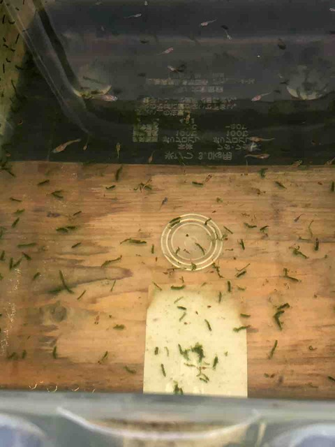 紅薊メダカ(べにあざみ)の針子
