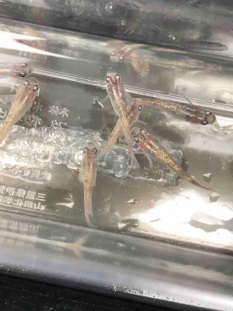 白ぶちラメ幹之メダカ(2018年春の遅産)