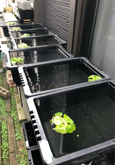 メダカ置き場のメダカ容器