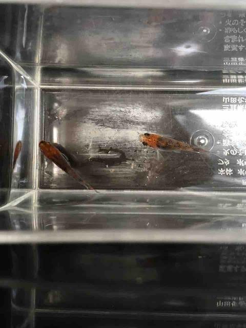朱赤三色透明鱗メダカ