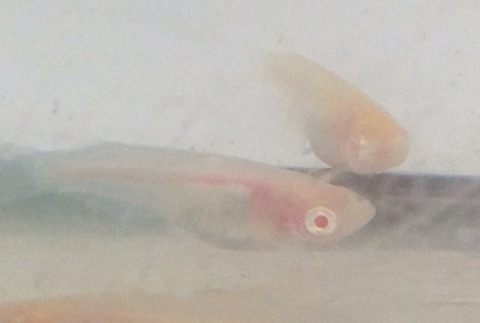 アルビノシースルーメダカの稚魚の特徴